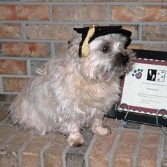 A small dog wearing graduation cap sat on the shelf