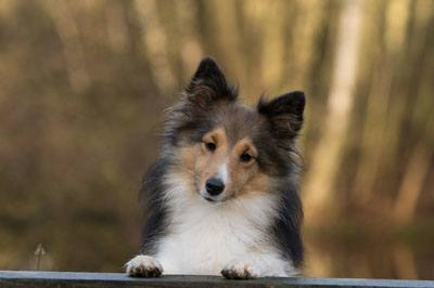 dog-sheltie-close-up