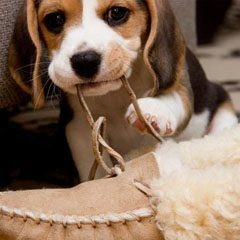 A beagle pup chewing the shoe lace.