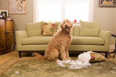 A poodle dog smiling after tearing down the pillow
